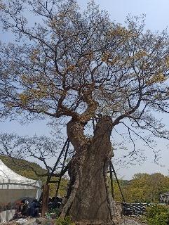 4. 용궁사 느티나무.jpg